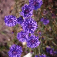 Cornflower Blue Ball - Centaurea cyanus - 1000 seeds